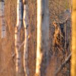 Plats 8. Skogens konung - Torbjörn Lorin