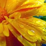 Plac. 5. Efter regn - Maija Luuk. Gul färgprakt med fin skärpa. Vattendropparna tillför det lilla extra.