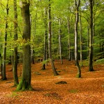 Plac 2. Bokskogen - Ann Lundström. En vacker bild av en bokskog med fint släpljus och fina lugna färger. En klar andraplats!