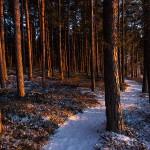 Plac 7. Tallskog - Mats Grimfoot. En ren bild med fint ljus i tallskogen. Trädet mitt i, framför stigen stör något. Kunde man ändra bildvinkeln lite? (vi rekommenderar inte motorsåg!).