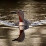 2 Vågmästaren - 117 Rofylld och harmonisk. En mycket fin fågelbild med ett vackert ljusspel i vågor och fjäderdräkt. Det finns ett djup i bilden som vi gillar. Bra lyster i de få färger som finns.