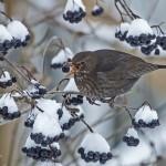 4. Bärjonglören- Mats Kälvemark Fin komposition och bra timing. Fin kontrast mellan varma bruna toner på fågeln och de kalla blå bären och snön.