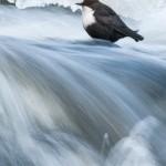 "3. VinterforsMats Grimfoot Den lugnt sittande fågeln i klassiska ""gyllene snittet"" står bra mot det forsande vattnet."