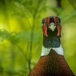 """1. Henry Fredriksson -""""Uttittad"""" En riktigt bra färgbild, direkt mot, man kan nästan tro fågeln ska gå i närstrid. Skärpan på fågeln, mot den lagom suddiga bakgrunden, ger en extra hjälp i framhävningen av fågeln, mottot var närbild och det håller."""