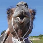"""5. Margareta Kälvemark - """"Kamelpuss"""" En bild med närhet som också visar glädje, kamelen ser glad ut och verkar vilja prata med fotografen.  Men den kanske blåser ut sin andedräkt, för att fotografen inte skulle vara så närgången."""