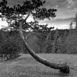 8.Krokig tall-Lasse Hallmén. Snygg svartvit bild med vacker himmel. Bilden hade tjänat på beskärning i vänsterkanten.